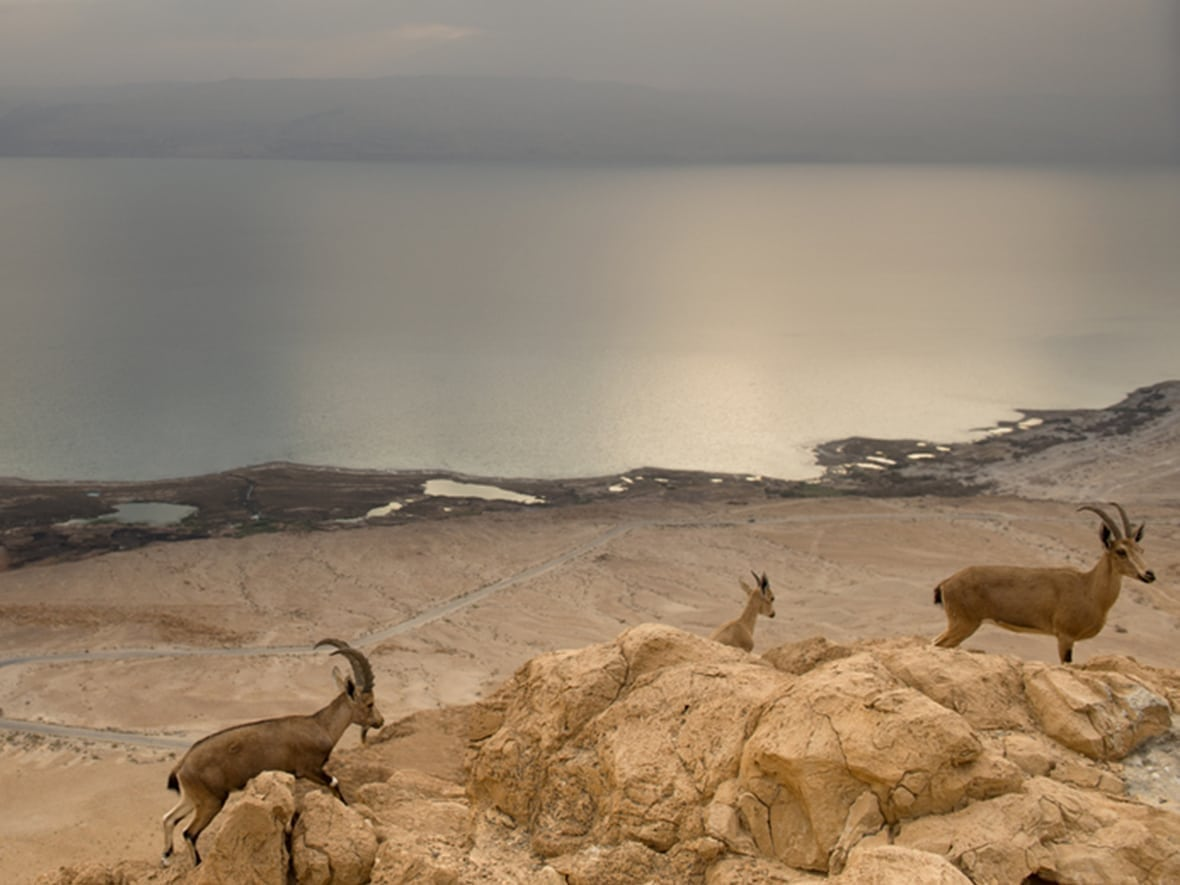 mountain goats at the dead sea